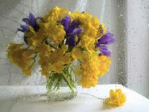 A bouquet of yellow and purple freesia on a white background. Shooting through wet glass. Drops, impressionism, complementary royalty free stock photos