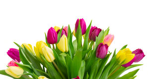 Bouquet of  yellow and purple  tulip flowers. Bunch of fresh yellow, pink and purple tulip flowers border   isolated on white background Stock Images