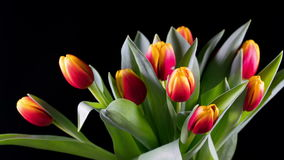 Bouquet of yellow-red bright tulips rises stock footage