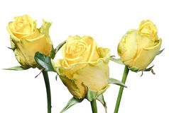 Bouquet of yellow roses isolated on white background Royalty Free Stock Photography