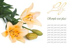 Bouquet of yellow roses with text isolated on white Stock Images