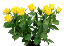 Bouquet of yellow roses on a white background Royalty Free Stock Photography