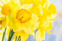 Bouquet of yellow spring daffodils backlit, closeup Royalty Free Stock Photography