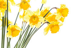 Bouquet of yellow spring daffodils backlit Stock Photography