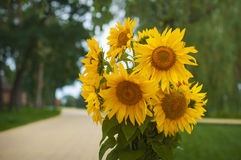 Bouquet of yellow sunflowers on a green background Royalty Free Stock Photography