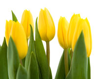 Bouquet of yellow tulips Stock Photos