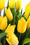 Bouquet of yellow tulips. Large bouquet of yellow tulips royalty free stock photo