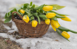 Bouquet of yellow tulips in a brown basket on a light blurred background Royalty Free Stock Images