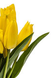 Bouquet from yellow tulips, isolated on white background Royalty Free Stock Images