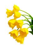 Bouquet of yellow tulips on a white background Stock Image
