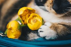 Bouquet of yellow waterlily flower with green leaf. freshly ripped up. with a tricolor sleeping cat. close up. yellow lotus. Bouquet of yellow waterlily flower stock photo
