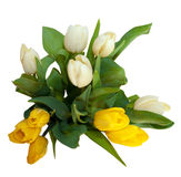 Bouquet of yellow and white tulip flowers isolated Royalty Free Stock Photo
