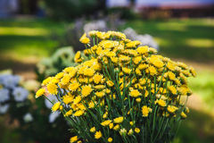 Bouquet of yellow wild flowers. Royalty Free Stock Photo
