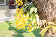 Bouquet of yellow wild orchid Royalty Free Stock Photography