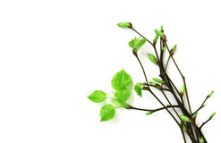 Bouquet of young spring branches with leaves Stock Images