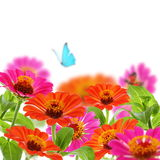 Bouquet of zinnia and blue butterfly. Stock Image
