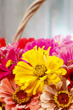 Bouquet of zinnia flowers in wicker basket. Royalty Free Stock Images