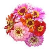 Bouquet of zinnia Stock Image
