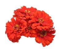 Bouquet of zinnia Stock Photo