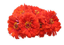 Bouquet of zinnia Stock Photography