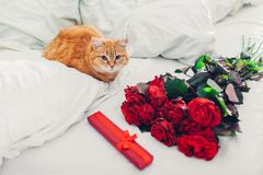 Bouquete of roses and gift box as surprise for Valentine`s Day left on bed at home. Cat lying by presents. Bouquete of red roses and gift box as surprise for royalty free stock photography