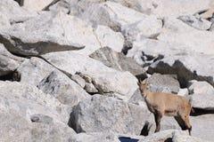Bouquetin alpestre femelle parmi des rochers Images libres de droits