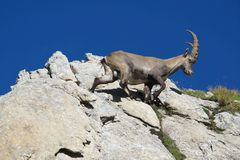 Bouquetin alpin s'élevant Photographie stock libre de droits