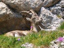 Bouquetin - bouquetin de Capra dans les Alpes Photo libre de droits