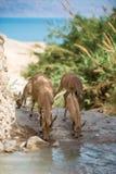 Bouquetin de montagne, oasis de Gedi d'ein, Israël image stock
