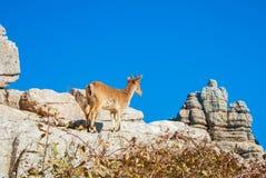 Bouquetin ibérien de vue en gros plan, chèvre sauvage espagnole, se tenant au t Images stock