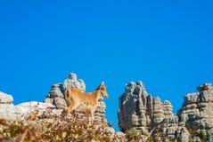 Bouquetin ibérien de vue en gros plan, chèvre sauvage espagnole, se tenant au t Photo libre de droits