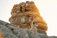 Bouquetin ibérien de vue en gros plan, chèvre sauvage espagnole, se tenant au t Image libre de droits