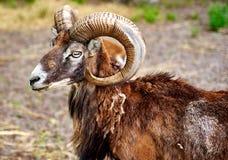 Bouquetin la chèvre de montagne sauvage avec les klaxons étonnants Photos stock