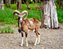 Bouquetin la chèvre de montagne sauvage avec les klaxons étonnants Photographie stock