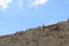 Bouquetin marchant sur une falaise dans le gedi d'Ein, Israël Image libre de droits