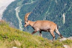 Bouquetin, Mont Blanc Photo stock
