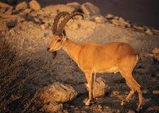 bouquetin nubian Image libre de droits