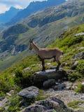 Bouquetin (o stambecco) che esamina giù la valle di Chamonix-Mont-Blanc Immagine Stock Libera da Diritti