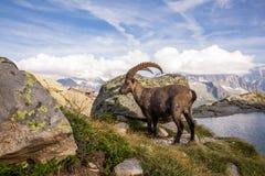 Bouquetin sauvage alpin faisant une pause devant une roche sur Sunny Summer Da photographie stock libre de droits
