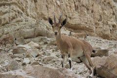 Bouquetin se tenant sur une falaise dans le gedi d'Ein, Israël Photographie stock libre de droits