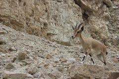 Bouquetin se tenant sur une falaise dans le gedi d'Ein, Israël Photo stock