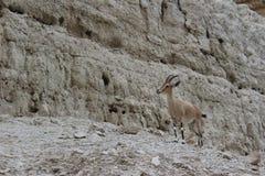 Bouquetin se tenant sur une falaise dans le gedi d'Ein, Israël Photo libre de droits