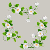 Bouquets of beautiful daisys isolated. Stock Image