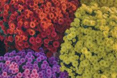 Colorful bouquets of chrysanthemums. Bouquets of chrysanthemums in red, purple and yellow, flowers prepared for the celebration of the deceased stock images