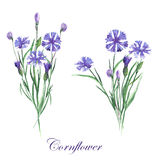 Bouquets of cornflowers Stock Image
