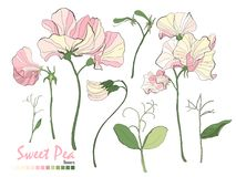 Bouquets of flowers, branches, pink sweet pea, and leaves isolated on white. royalty free illustration