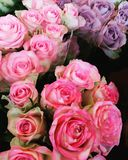 Bouquets of pink and purple roses. Background created by bunches of pale pink and purple roses some in full bloom and others in bud Royalty Free Stock Photos