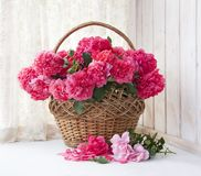 Bouquets of pink roses in a basket on the background of a curtain window. royalty free stock photography