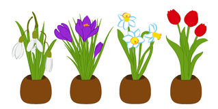 Bouquets set of spring snowdrop, narcissus and crocus in flower pots isolated on white. Vector illustration. Bouquets set of spring snowdrop, narcissus and Stock Photos