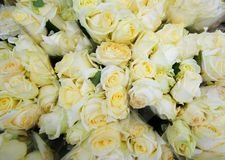 White roses with drops of water royalty free stock photo
